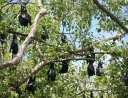 5 - Flying Foxes